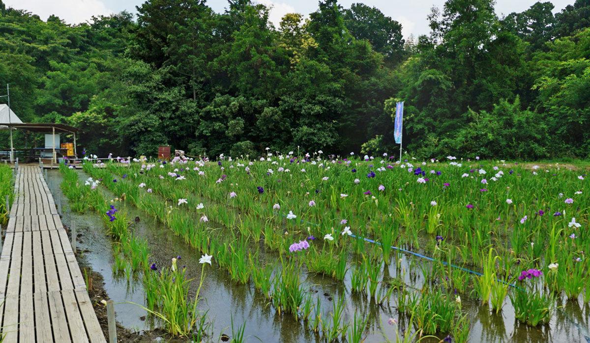 城里町おすすめ季節観光スポットの青山花しょうぶ園