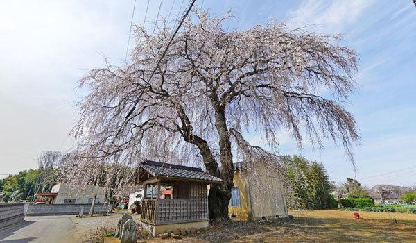 つくば市安食の地蔵桜