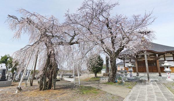 つくば市の摩尼山竜福寺一乗院の桜