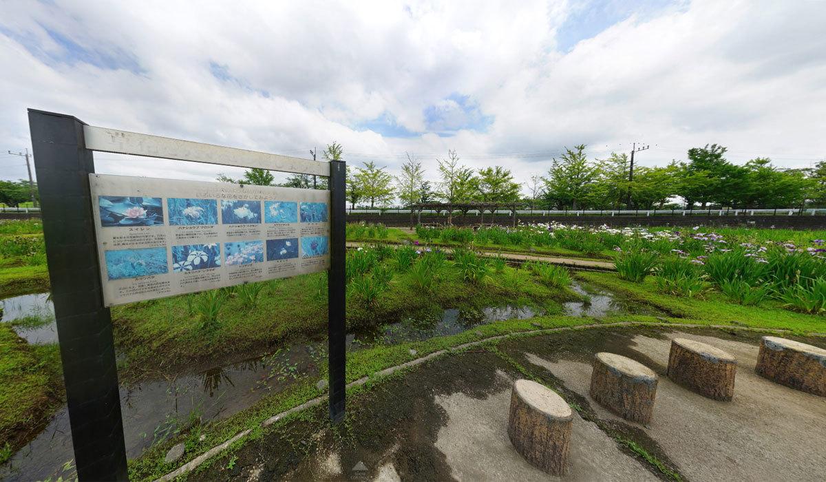 土浦市おすすめ観光スポット乙戸水生植物園 花菖蒲