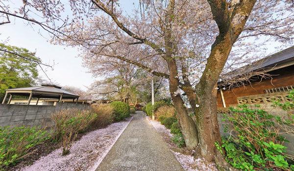 つくば市の千光寺の桜