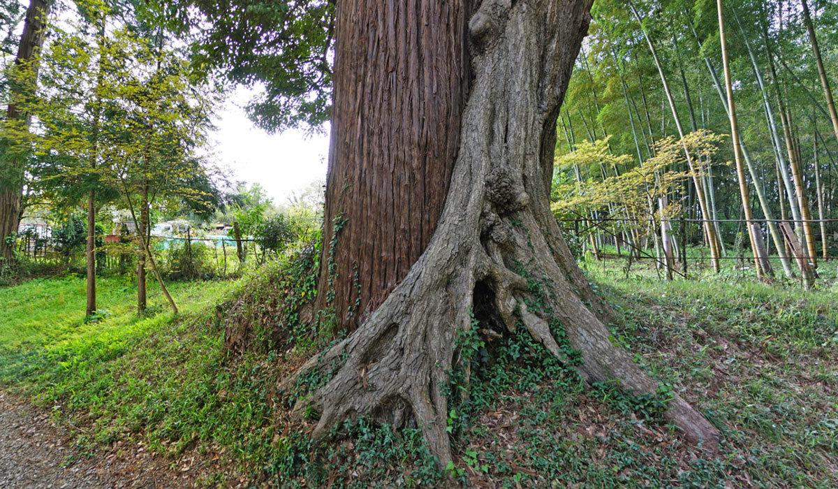 稲敷市巨木おすすめスポットの高田神社の杉・椎の木の合体木